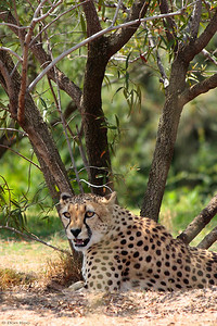 A cheetah at San Diego wild animal park