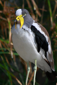 "I believed this one is called ""Yellow-wattled Lapwing"".  Please correct me if it is wrong."