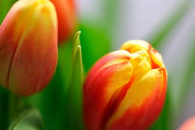 Baby tulips