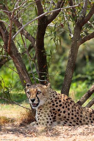 A cheetah at San Diego wild animal park