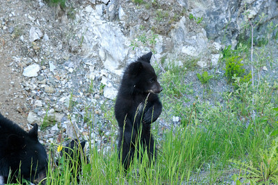 Ran into a wild bear family, a mother and two cubs, driving in Vancouver.  It was tough to get a decent shot from the car.