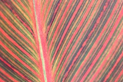 A closeup shot of canna leaf.